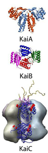 Three proteins (KaiA, KaiB, and KaiC) of the cyanobacterial circadian clock that form a self-sustained circadian oscillator when combined with ATP, courtesy of Prof. A LiWang